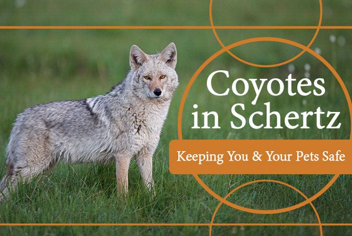 coyotes-display